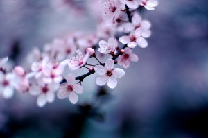 Image credit: Cherry Blossoms, Jeff Kubina, Flickr, CC BY-SA